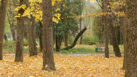 trees with multicolored leaves on the grass in the park. Maple foliage in sunny Live Action