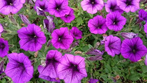 purple petunia Photo