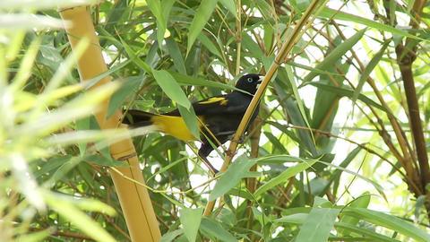 Paradise bird Footage