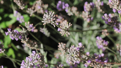 Wild Purple Verbena Flowers Dancing in the Wind Live Action