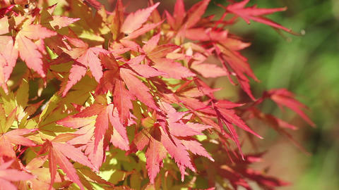 Red Maple Leaves Swaying in an Autumn Breeze Live Action