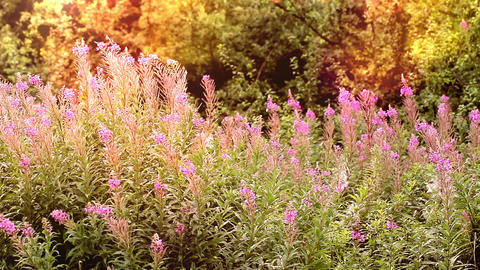 Purple Wild Loosestrife Flowers Dancing in the Wind Live Action