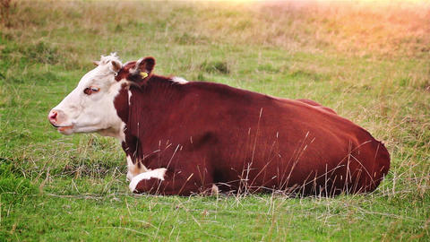 Cow Resting in a Field while Grazing on Grass Footage