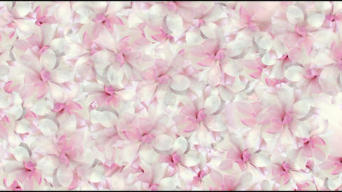 4K SAKURA FLOWERs EVENTS STAGE Stock Video Footage