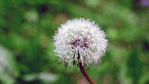 Single Dandelion Swaying in the Wind Live Action