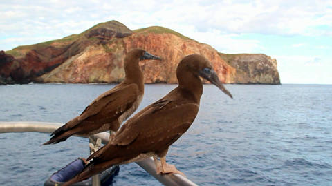 Curious birds gannets diving on a yacht near the island of Socorro in the Pacifi Footage