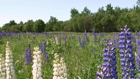 Endless fields of blooming lupine near Smolensk. Russia Footage