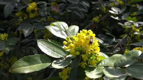 Bees collect nectar from flowering shrubs. Krasnodar. Russia Live Action