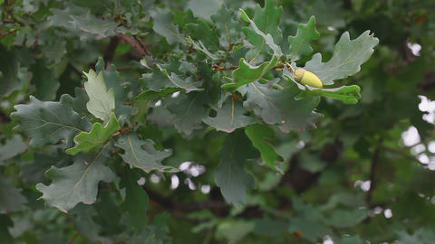 Oak leaves and acorns Footage