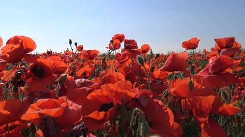 looming field of poppies near Krasnodar. Russia Footage