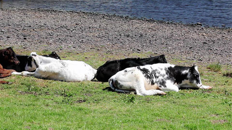 A Small Herd of Cows Laying in a Field by a Lake Live Action
