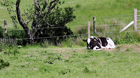 A Single Cow Laying Down and Grazing in a Field Footage