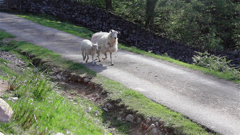 A Single Sheep and Her Lamb Trotting Along a Country Path 영상물