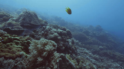 Fish swimming among seaweed and coral reef on sea bottom. Scuba diving in sea Footage
