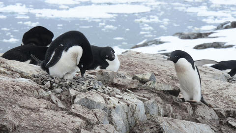 Adelie Penguins on the nest Footage