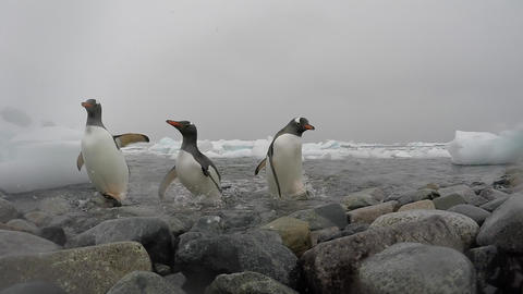Gentoo Penguins on the beach Live Action