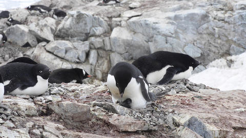 Adelie Penguins on the nest Live Action