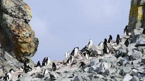 Chinstrap Penguins on the nest 영상물