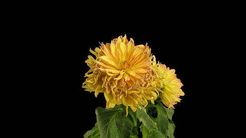 Time-lapse of dying pink yellow dahlia, 4K with ALPHA channel Footage