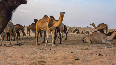 Camels in the desert of Abu Dhabi Footage