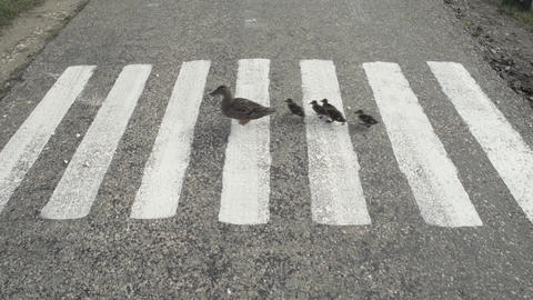 Duck With Ducklings Crossing The Road Footage
