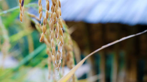 Close up Rice paddy field with blurred hut background in day time, at chiang mai Footage