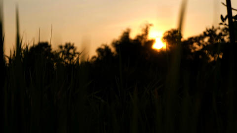 Silhouette Rice paddy field worms eye view landscape background in sunset time, Footage
