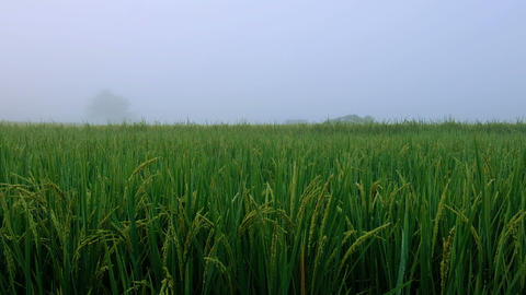 Rice paddy field and Hut with fog landscape background in morning time, at Footage