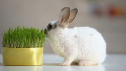 Hungry pet rabbit eating grass plant, nutrition supplement, wildlife nature Live Action