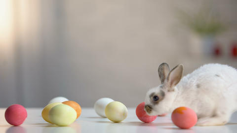 Furry Easter bunny with colored eggs on table, religious holiday greeting, pet Live Action