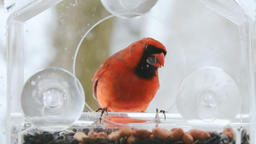 Slow motion of hovering red northern cardinal bird, feeder, flying snowing 영상물
