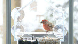 Red male house finch bird eating seeds in bird feeder in snow, snowing storm Footage