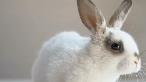 Cute fluffy rabbit sitting on table, animal rights protection campaign, humanity Footage