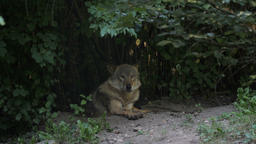 The gray wolf in a forest. Canis lupus Live Action