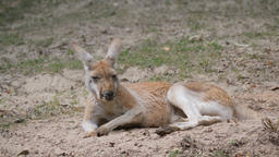 The red kangaroo. Macropus rufus Live Action