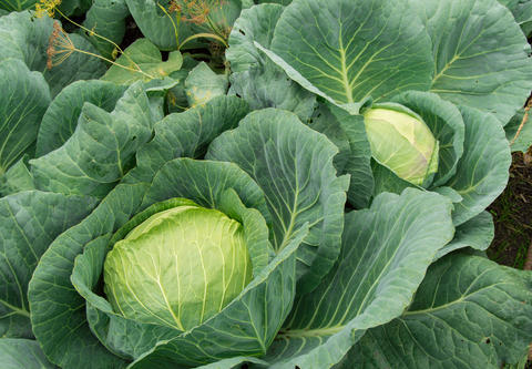 White cabbage growing in the garden, vegetarian healthy food concept, Cabbage Photo