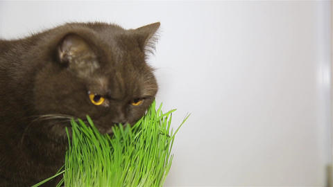 British breed of cat chocolate brown eats grass HD 1920x1080p Live Action