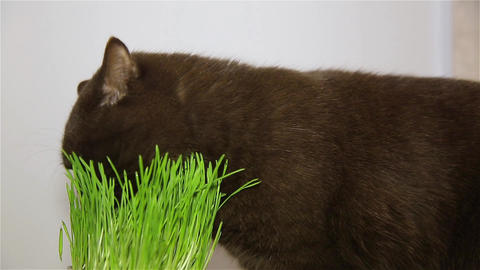 Cat of the British breed gets the vitamins chewing the green grass Live Action