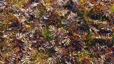 Colourful and dried rowan leaves on ground in autumn Footage