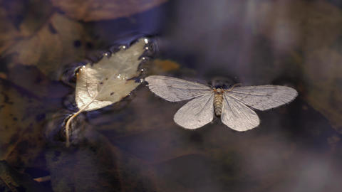 Dead moth floating on water surface Live Action