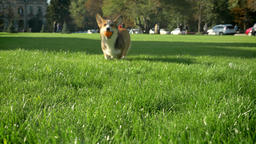Portrait of corgy dog running with small ball to camera on green park background Footage
