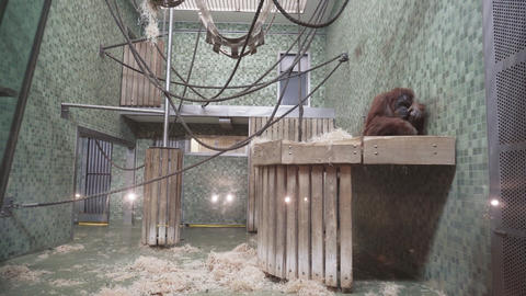 BERLIN, GERMANY - NOV 23, 2018: Orangutan eats broccoli in the Berlin Zoological 영상물