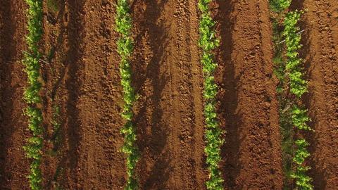 Vineyard Crops at Sunset Aerial View Footage