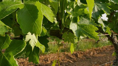 Vineyard Fields at Spring Leaves Closeup Footage