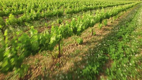 Vineyard Crops in Spring Aerial View Footage