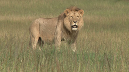 A beautiful profile of a young male lion Footage