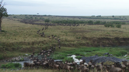 A big group of wildebeests running together during migration Footage