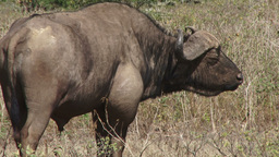 A buffalo with a bad swelling on his leg lizenzfreie Videos