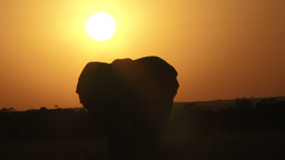 A Bull Elephant Walks With Sunrise In The Background stock footage