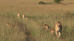 A family of lions with cubs walking together in the plains Footage